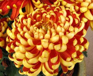 Close up of large red and yellow chrysanthemum blossom