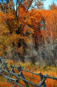 Split rail fence in front of yellow leaved fall trees