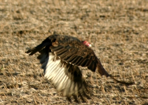 Vulture flying up from bare cornfield