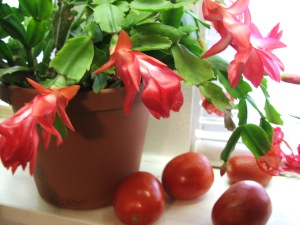 Christmas cactus on counter with Roma tomatoes