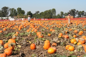 Long view od pumpkin patch of rpe pumpkins and scarecrows
