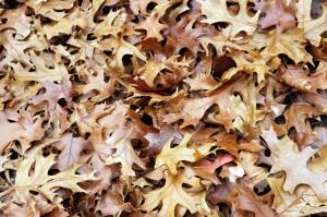 closeup of piled brown oak leaves
