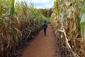 Young boy walking in corn maze