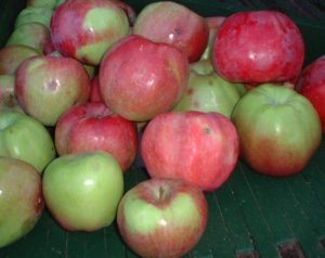 Pile of Northern Spy apple close up