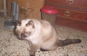 Od Siamese cat